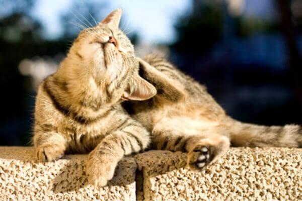 Comment reconnaitre si mon chat a des puces (2)