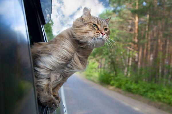 Comment voyager en voiture avec son chat
