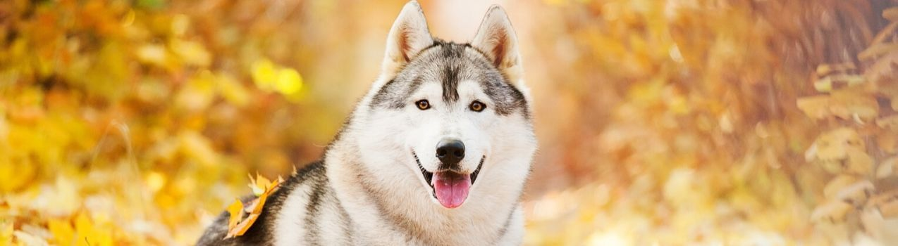 la sécurité du chien