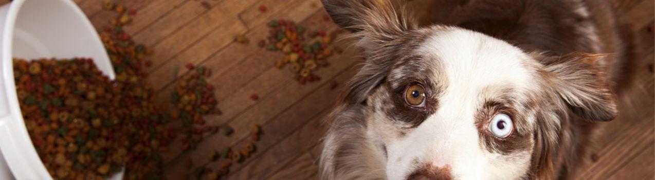 pourquoi choisir des croquettes sans céréales pour chien