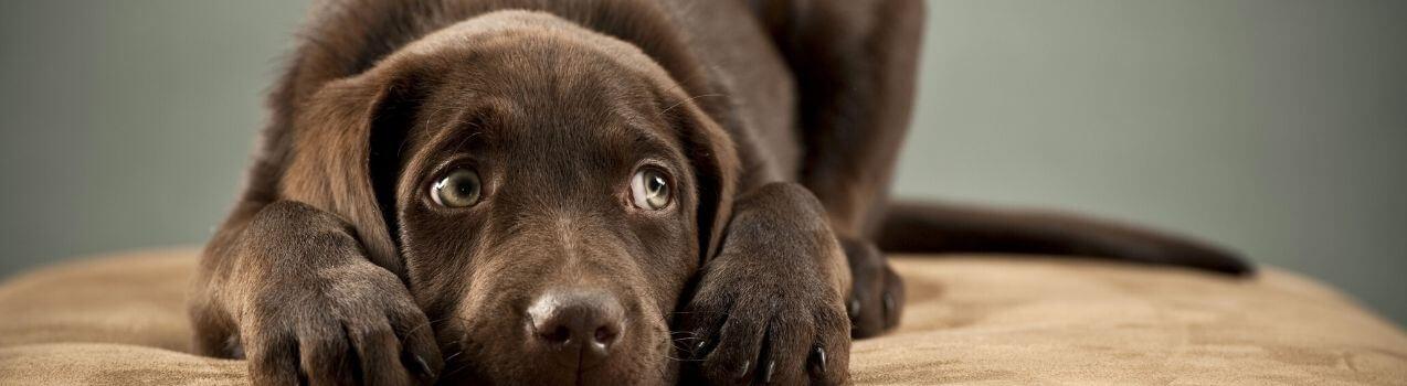 solutions anti-stress pour chien