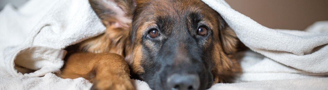 comment soulager l'arthrose du chien