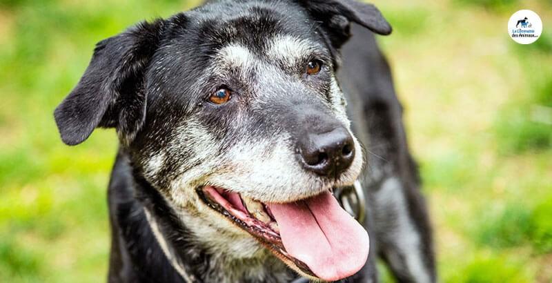 Quels sont les signes de vieillesse chez un chien ?