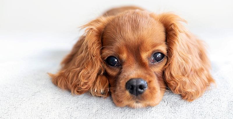 Pourquoi les yeux des chiens et chats coulent-ils ?