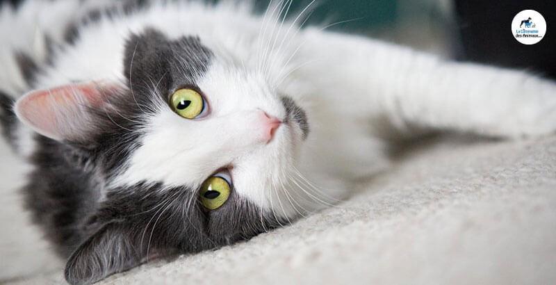 Qu'est-ce que le Sida (FIV) du chat ?
