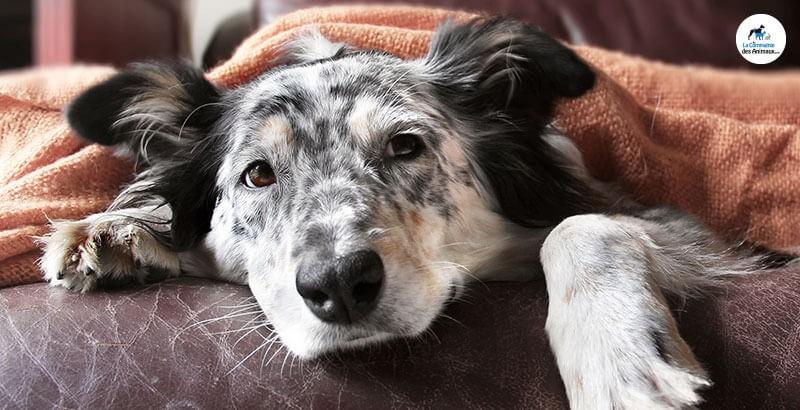 Vrai ou Faux : Les chiens ne sont jamais enrhumés