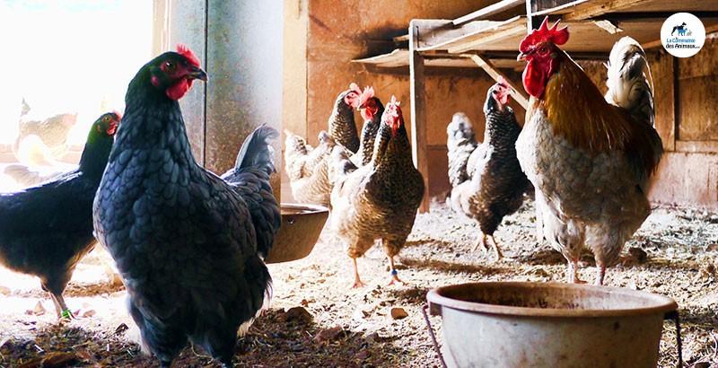 Comment protéger vos poules des poux ?