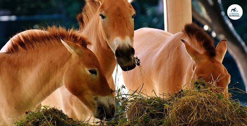 L'alimentation des chevaux : le foin