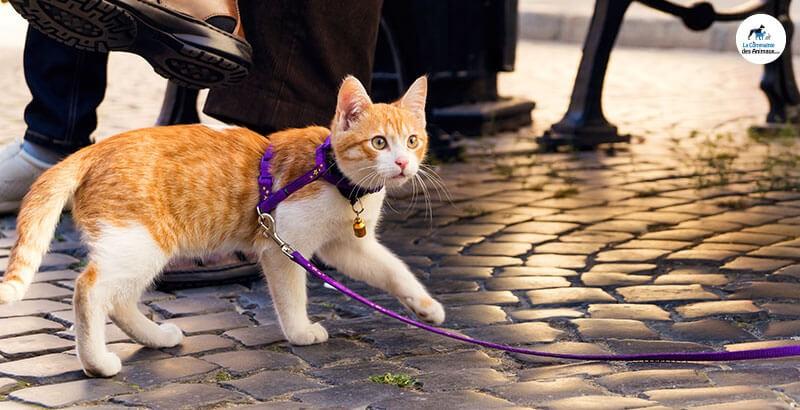 Le harnais pour chat : bonne ou mauvaise idée ?