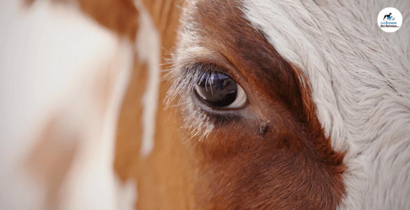 La Keratoconjonctivite infectieuse bovine