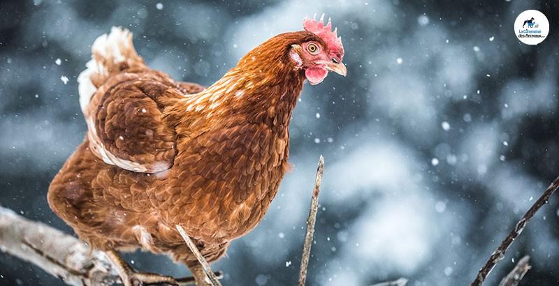 Comment protéger son poulailler du froid ?