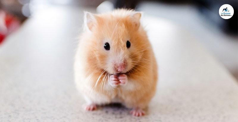 Quelles friandises choisir pour son hamster ?