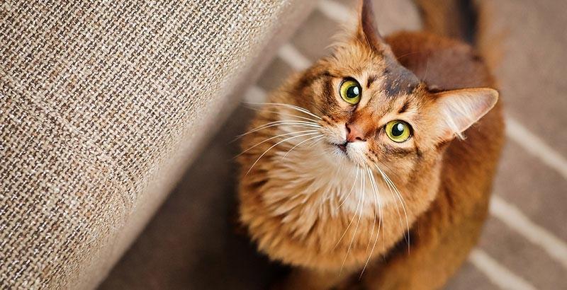 La stérilisation chirurgicale chez le chat