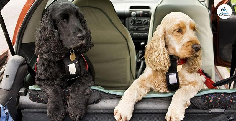 Faut-il attacher son chien en voiture ?
