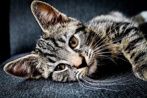 Cestodes, vers du chat