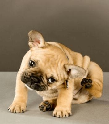 chien se gratte puce 2