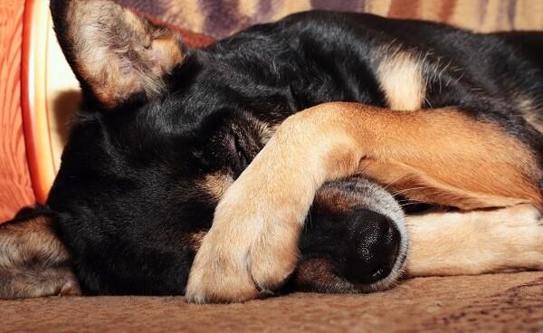 comment savoir si mon chien a une dysplasie