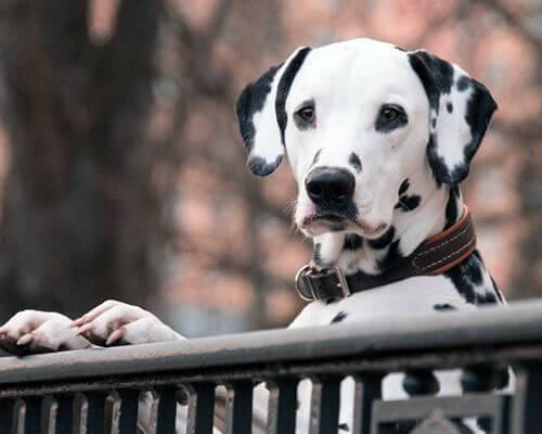 tout savoir sur la fugue du chien