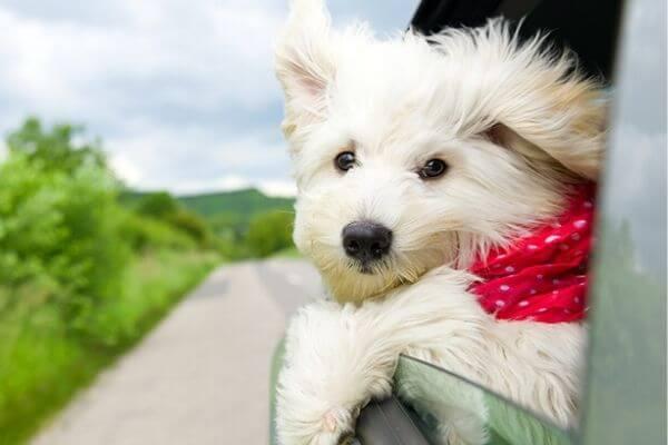 solution chien stress voiture