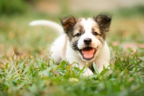 Sprays antipuces pour chien