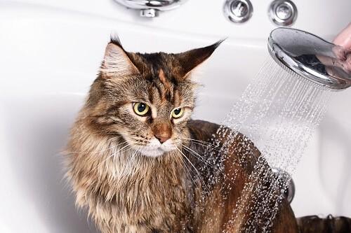 Tout savoir sur les shampooings antipuces pour chat