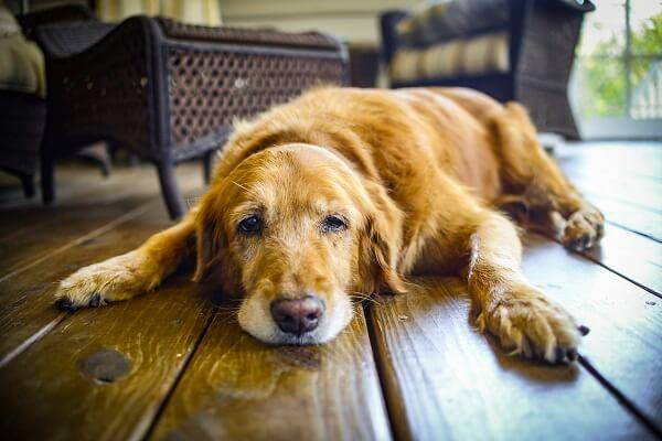 quels sont les symptômes de l'arthrose du chien
