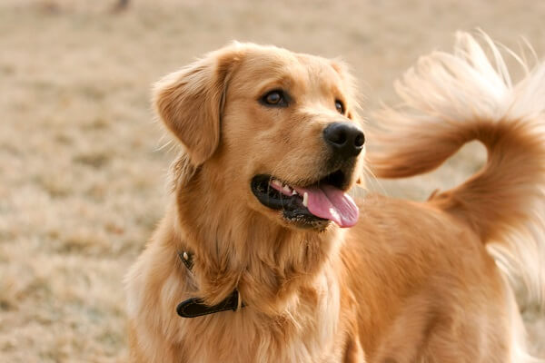 comment renforcer les articulations du chien en pleine croissance