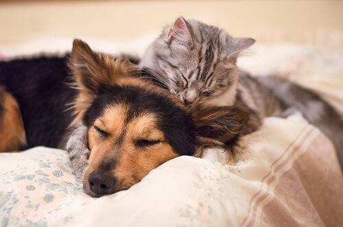 utiliser antipuce chien sur chat