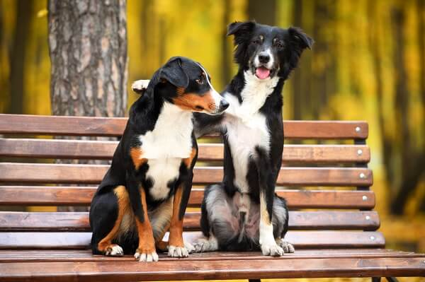 Chaleurs chez la chienne: Durée, Signes et Fonctionnement