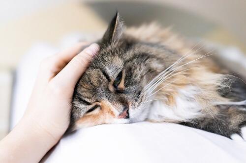 Pancréatite du chat - Comment la soulager ?