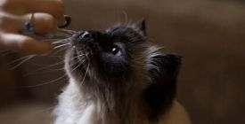 Friandises pour chat | Quelles friandises peut-on donner à son chat ?