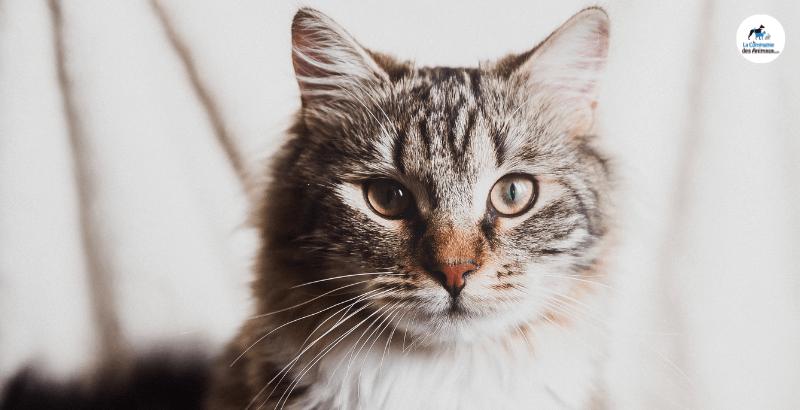 Pourquoi est-ce important de changer l'alimentation de votre chat après la stérilisation ?