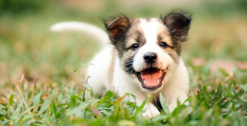 Vrai ou Faux : Un chien qui remue la queue est forcément content