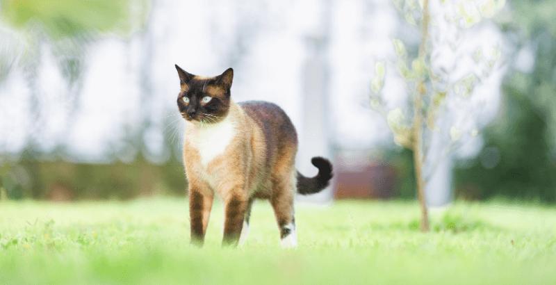 La pancréatite du chat