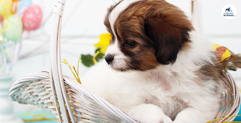 Pâques : Pas de chocolat pour le chien !