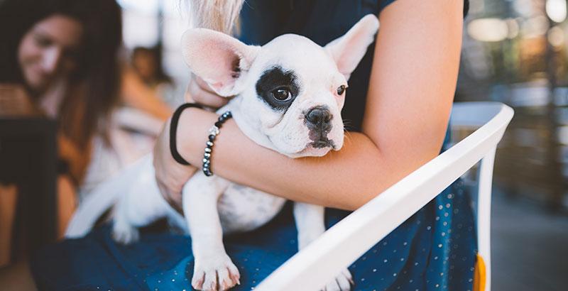 Les chiens de races brachycéphales
