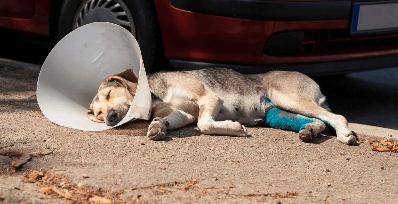 Chien renversé par une voiture : 5 étapes cruciales pour bien réagir