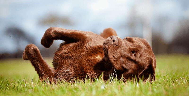 Focus race - Le Labrador