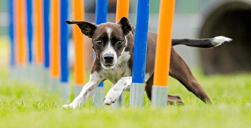 Quelle niveau, fréquence et type d'activité doit-on fournir à un chien de race