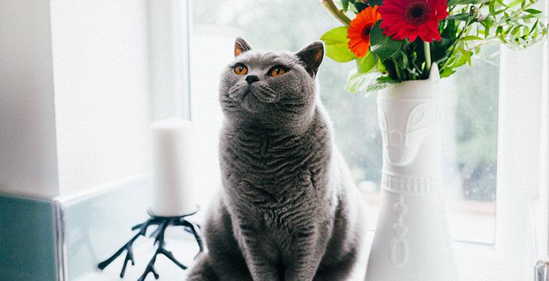Comment éliminer les pellicules chez son chat ?