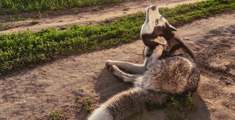 Les antipuces naturels pour chien sont-ils vraiment efficaces ?