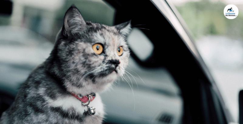 Chat malade en voiture, comment le soulager ?