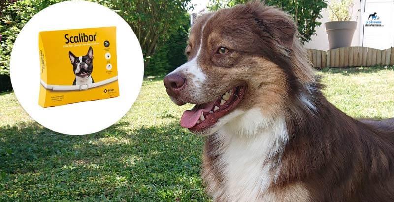 On a testé : le collier antiparasitaire pour chien Scalibor
